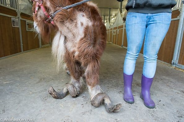 Image result for Neglected Pony's Hooves Grew So Long He Could Barely Walk