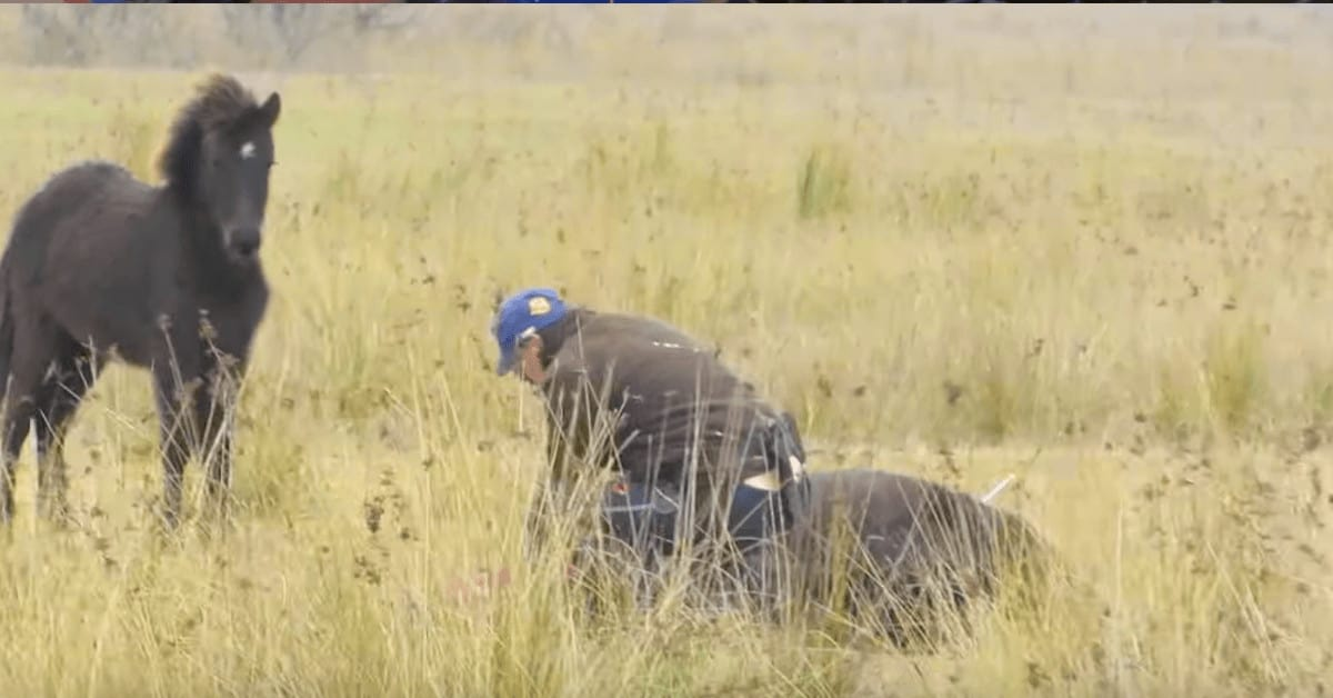 Man rescues chained wild horse, But moments later receives the most incredible thank you for saving it's life.