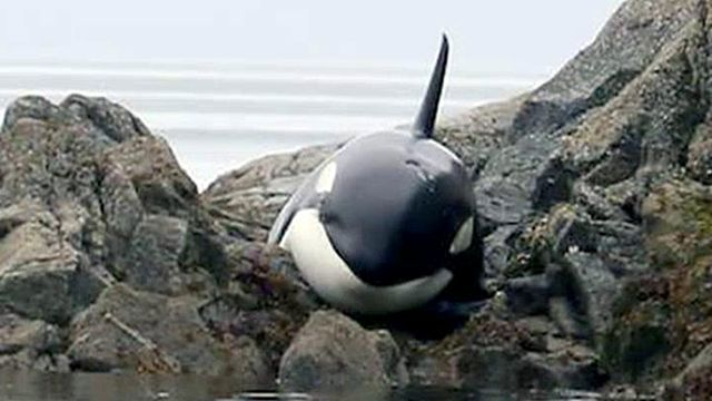 Baby Orca Cried Out And Beach Goers Rushed To Help, 8 Hours Later They Learned Her Fate.