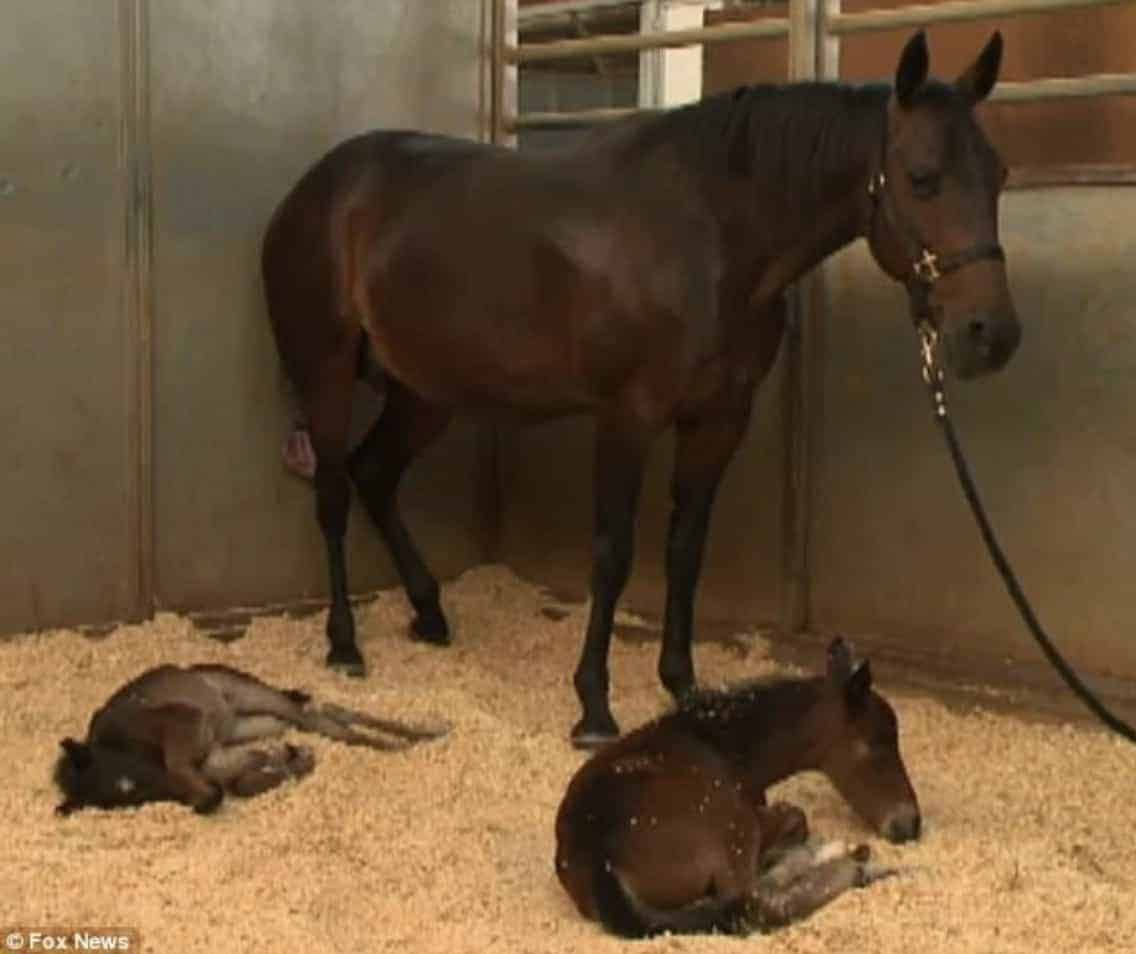 Pregnant Horse Defies All Odds By Giving Birth To Twin ...