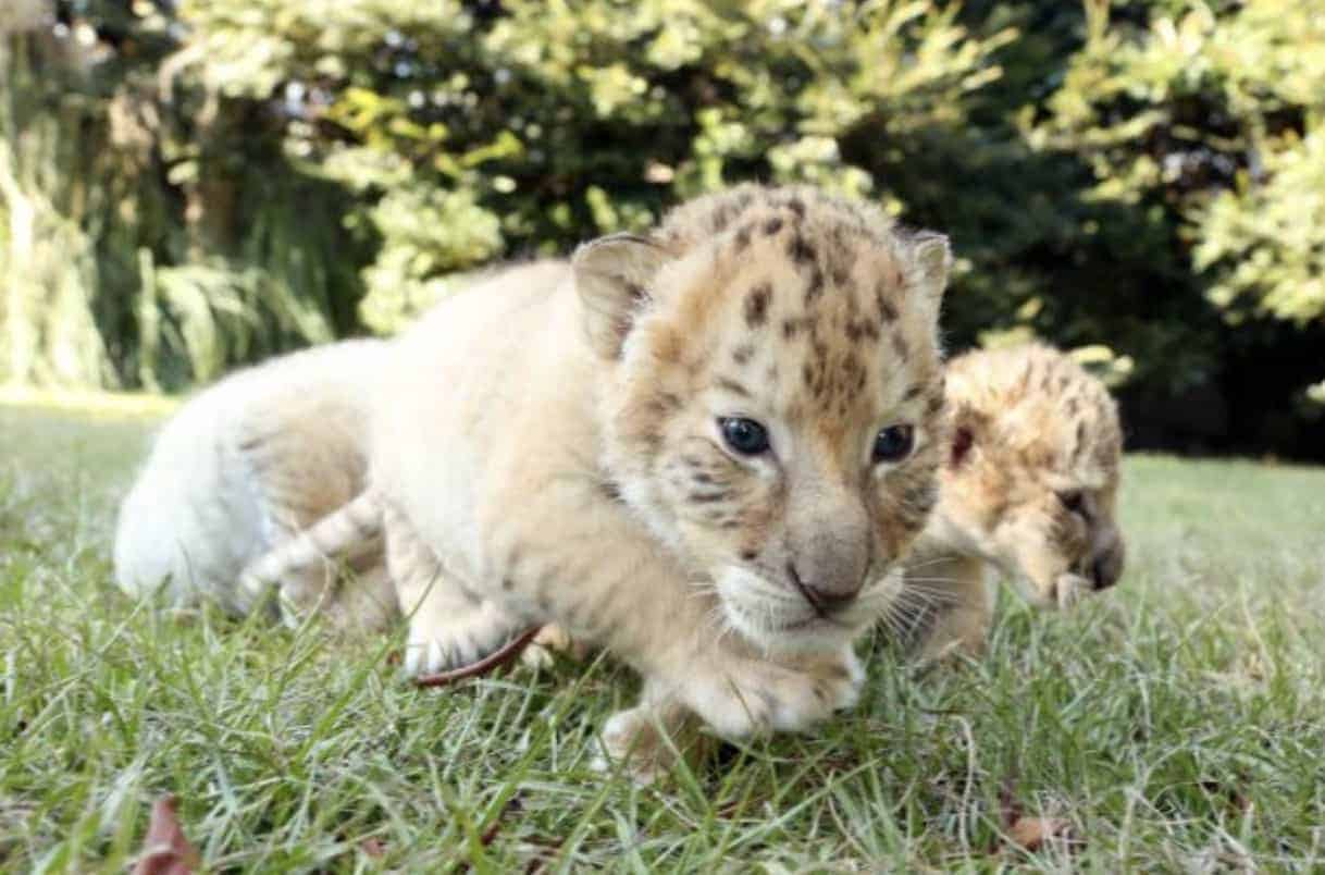 White Lion And Tiger Gave Birth To Rare Cubs, And The ...  White Liger Cubs