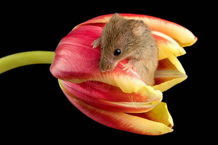 Field mouse photos that are guaranteed to make you say aww - How do you make wild animal in little alchemy ...