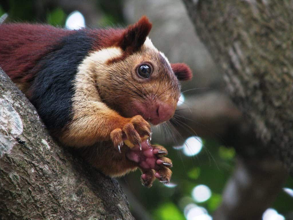 malabar squirrel