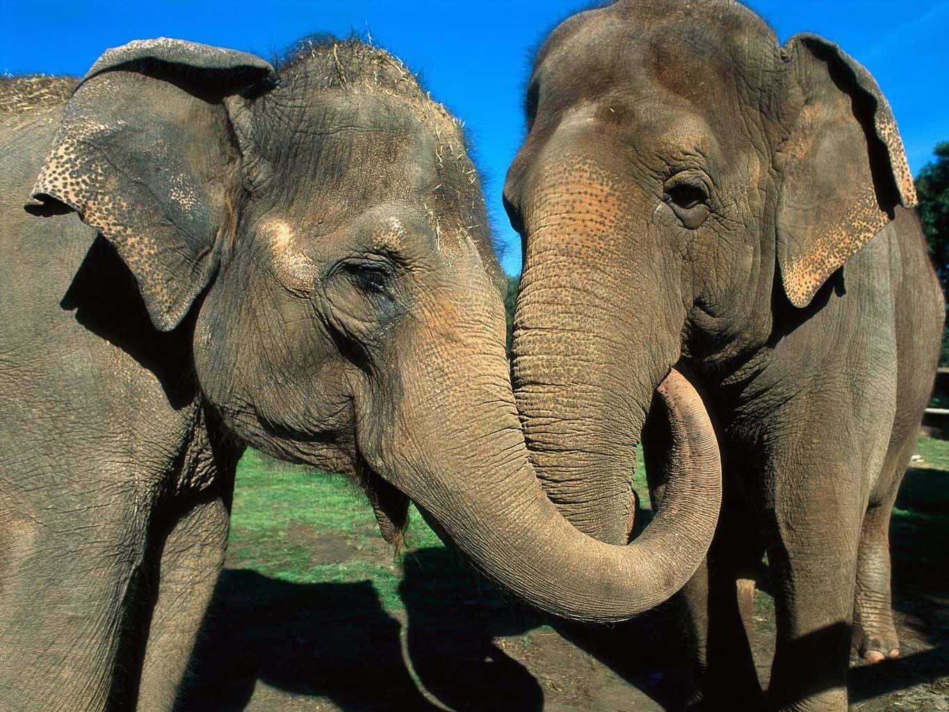 two elephants reunite after 20 years apart