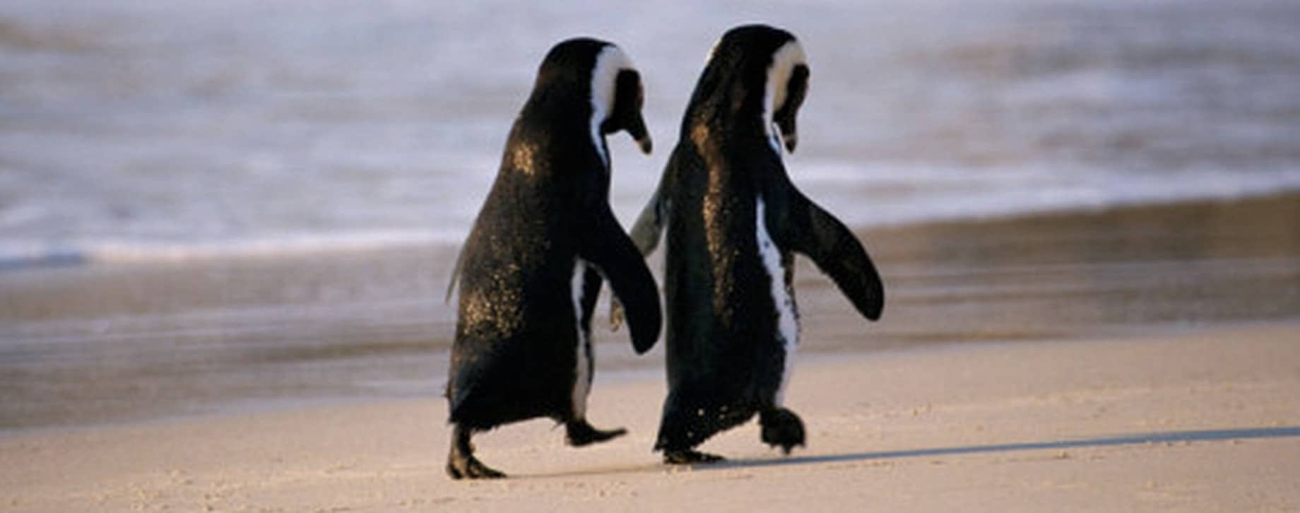penguin couple hold hands