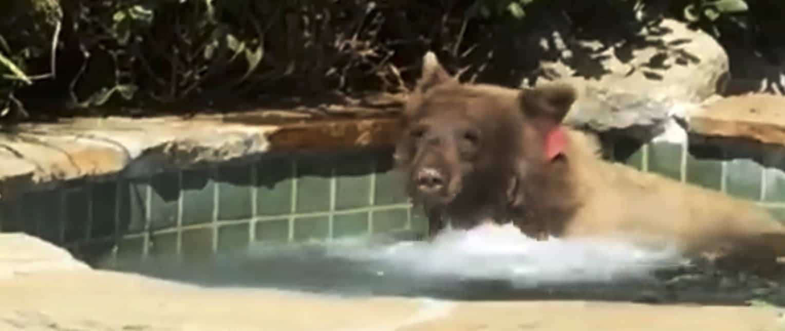 bear in a hot tub