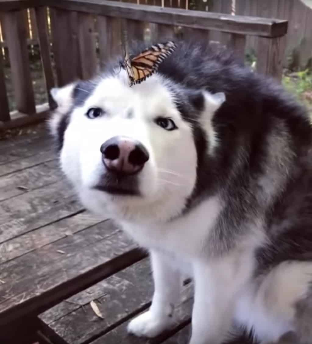 butterfly lands on a husky's nose