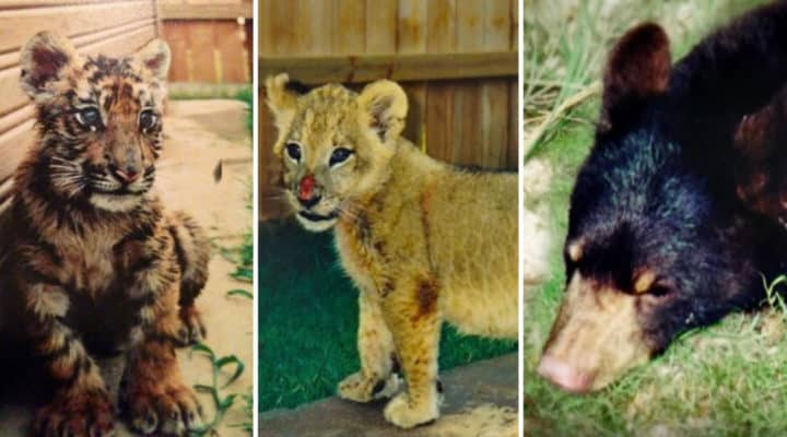 lions and tigers and bears oh my 3 unlikely animals are best friends