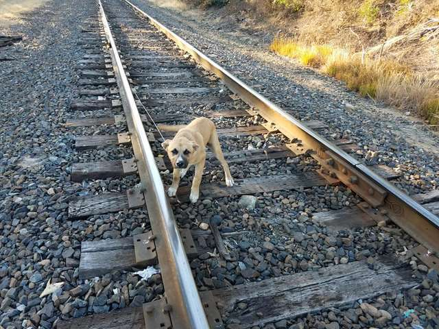 dog tied to the train tracks