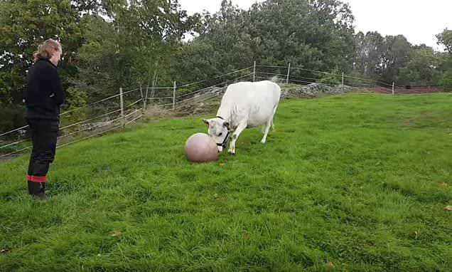 cow playing fetch