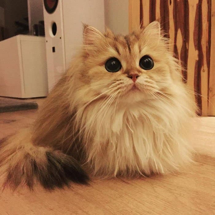 most beautiful cat in the world