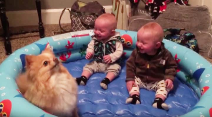 7e57aa6fd625 Twin babies laughing at Pomeranian jumping will leave you with a big ...