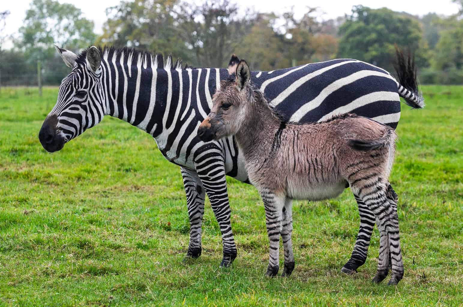 Zonkey born in Somerset without owner knowing her zebra was pregnant
