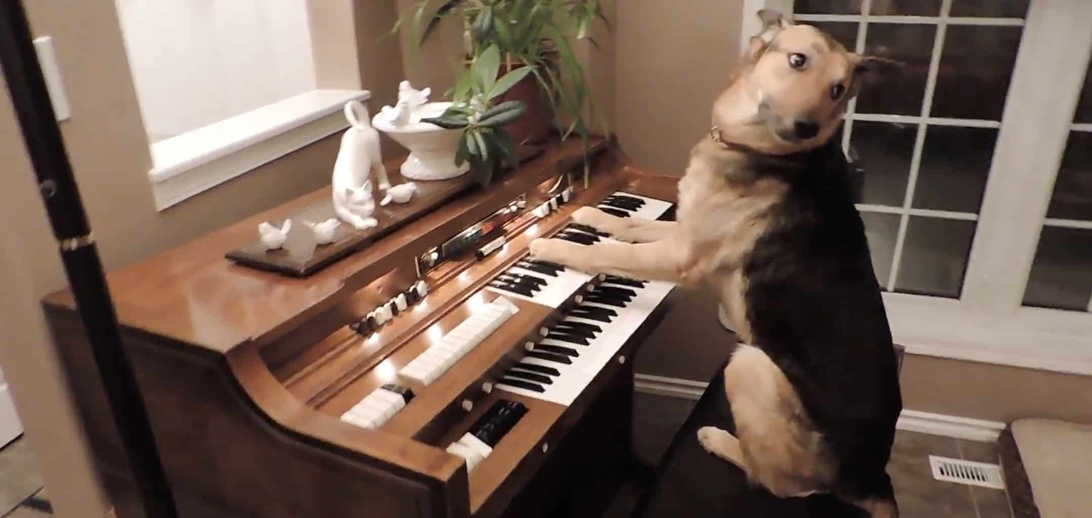 piano playing dog