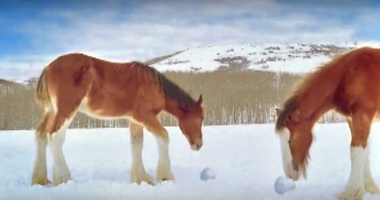 Budweiser Clydesdale horses