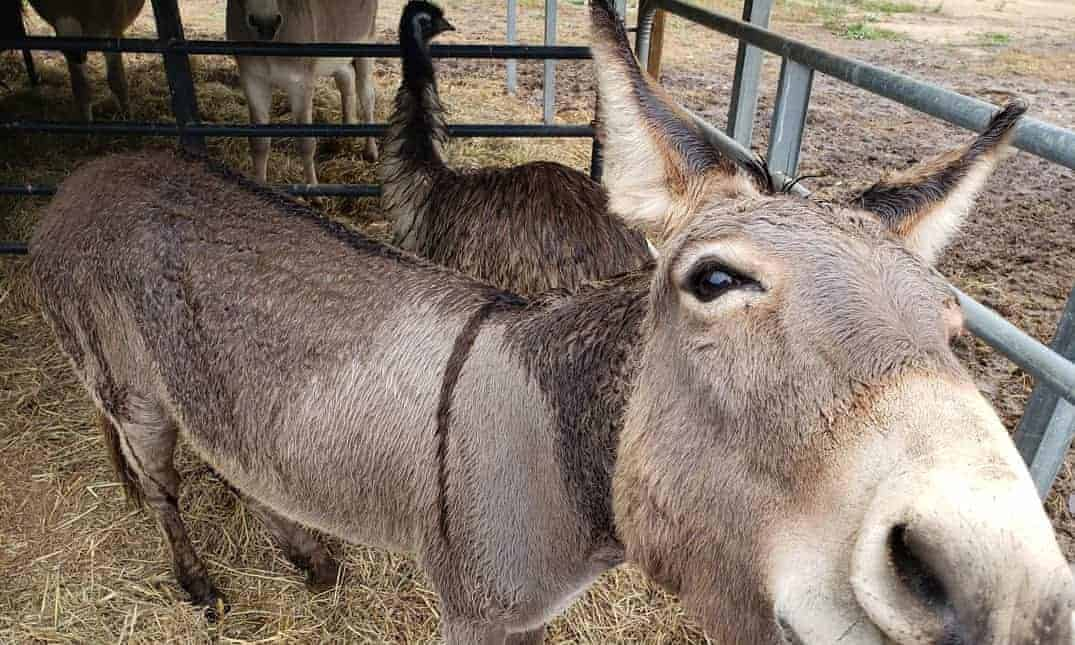 donkey and emu