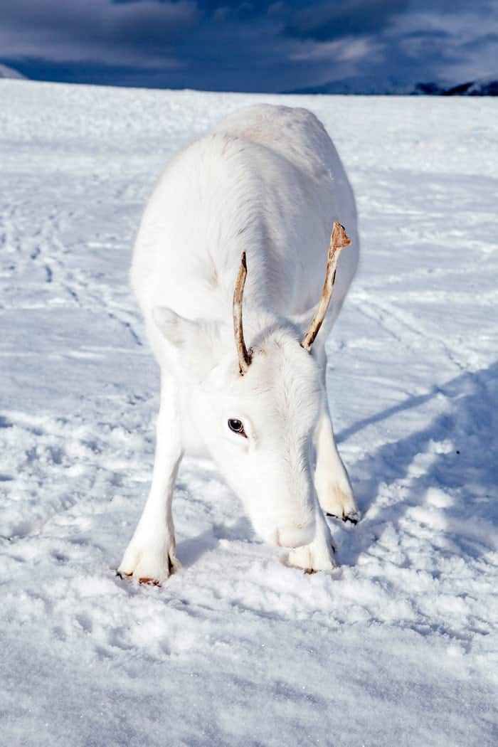 white baby reindeer in the snowy mountains of Norway