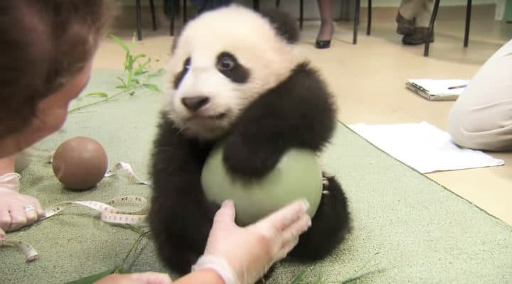 Baby Panda Loves His Ball So Much He Refuses To Let Go