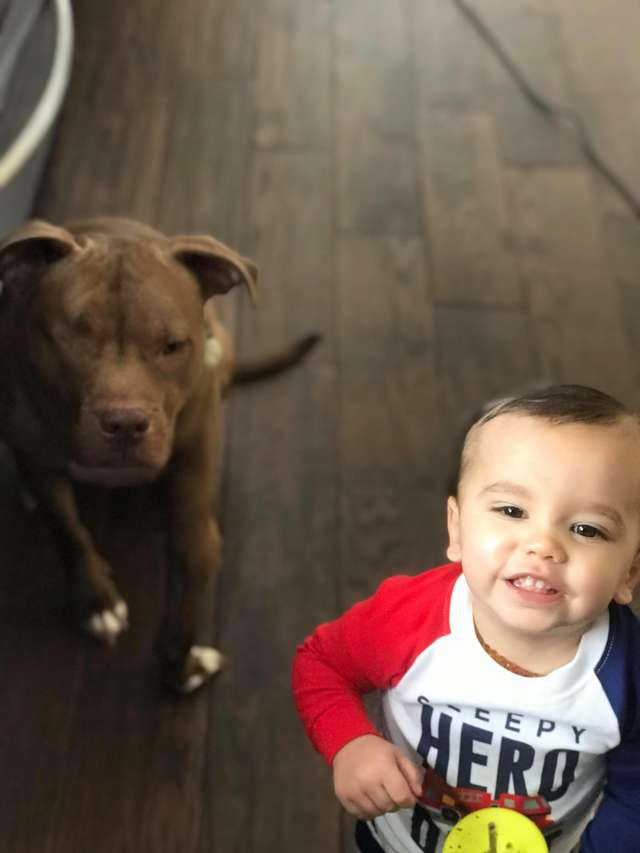 pit bull looks after sick child