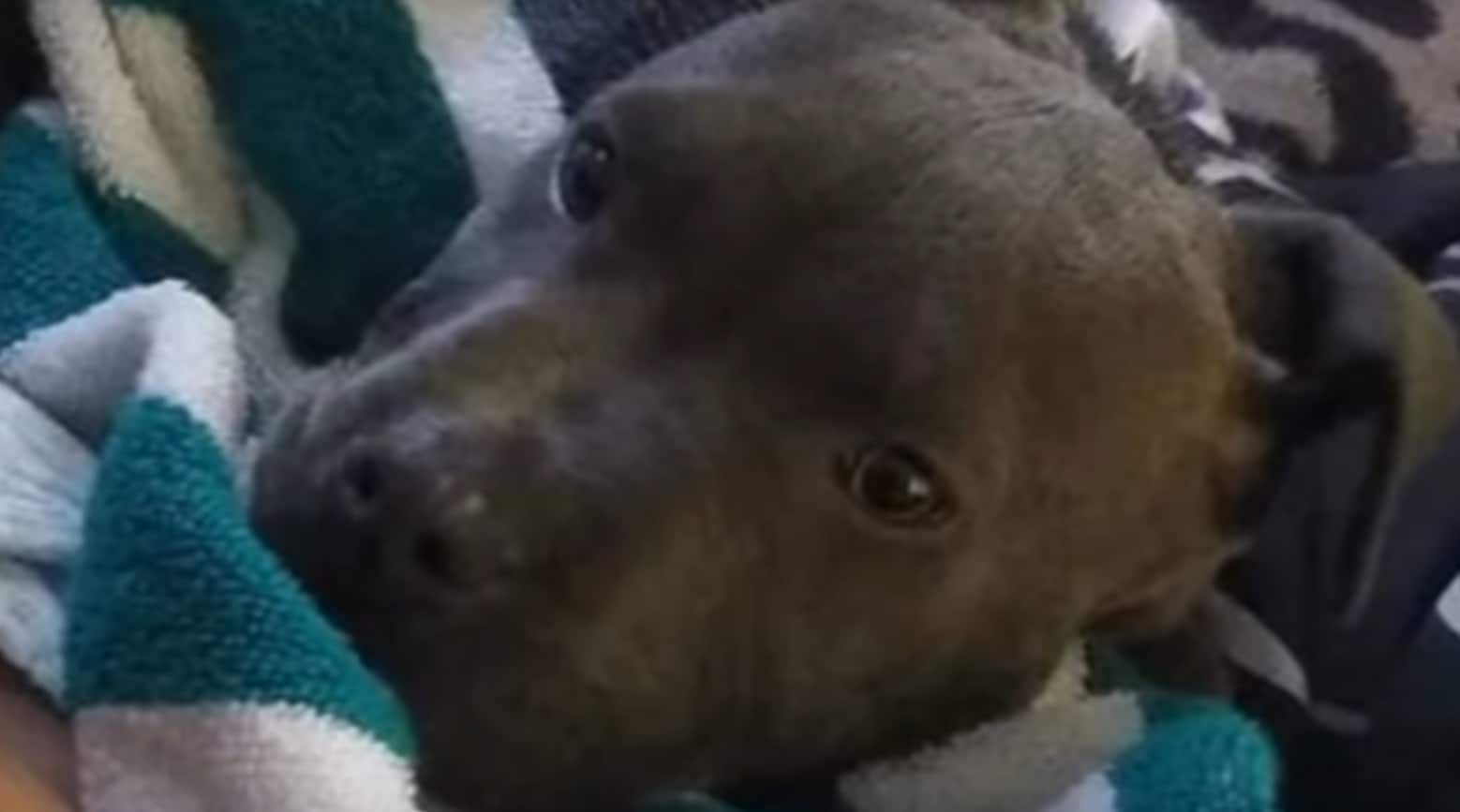 pit bull saves family from fire