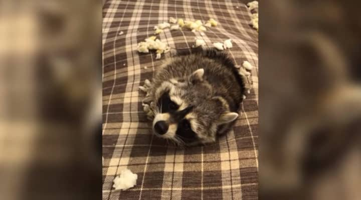 Cheeky Pet Racoon Acts Innocent After Getting Caught Digging