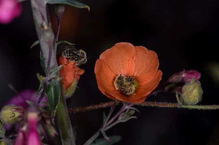 bees sleep on a flower