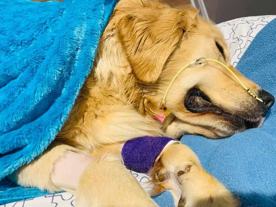Golden Retriever dies after swallowing rope ball