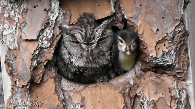 owl adopts duckling