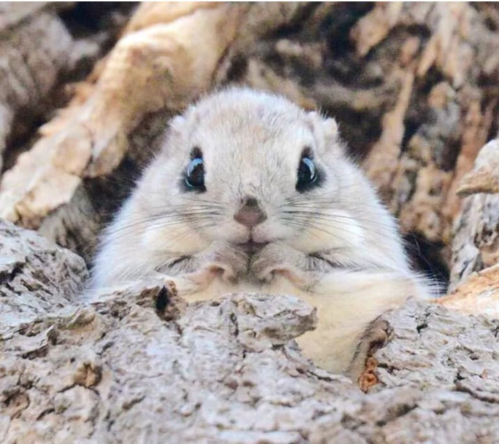 the cutest japanese dwarf squirrels