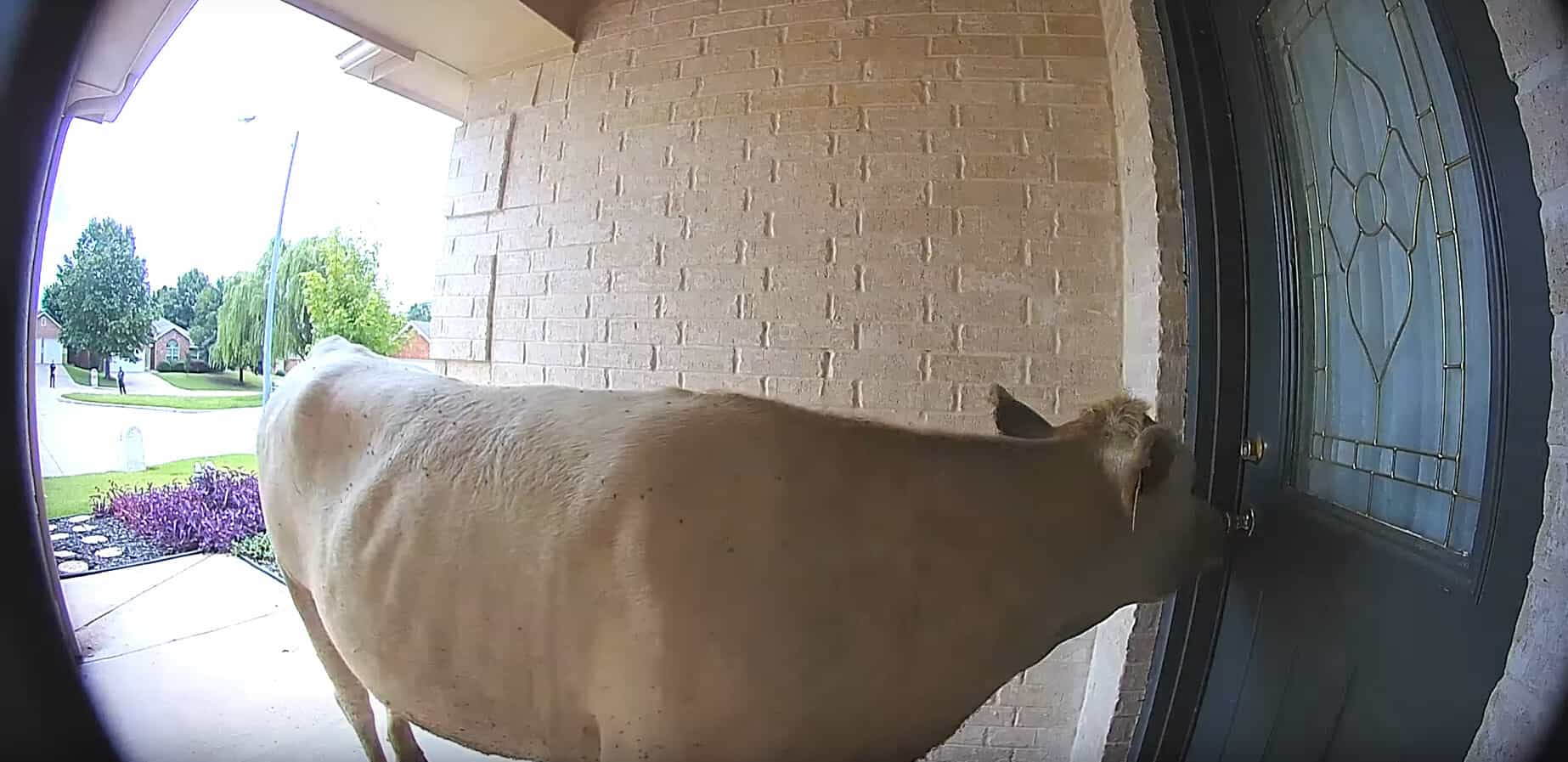 cow doorbell texas