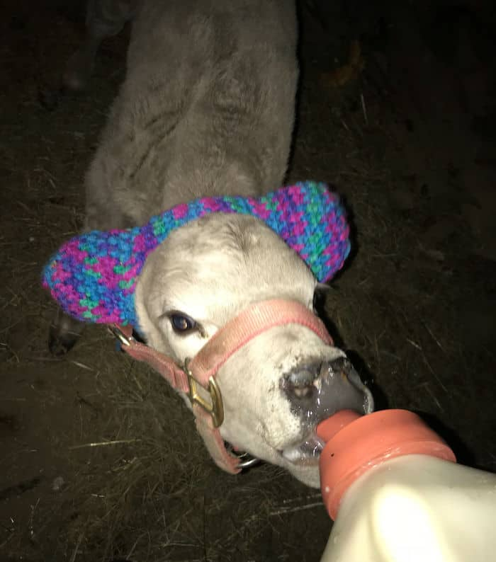 cow earmuffs