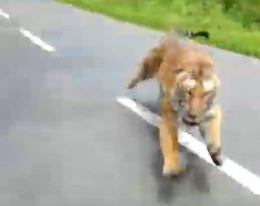 tiger attacks motorcyclists