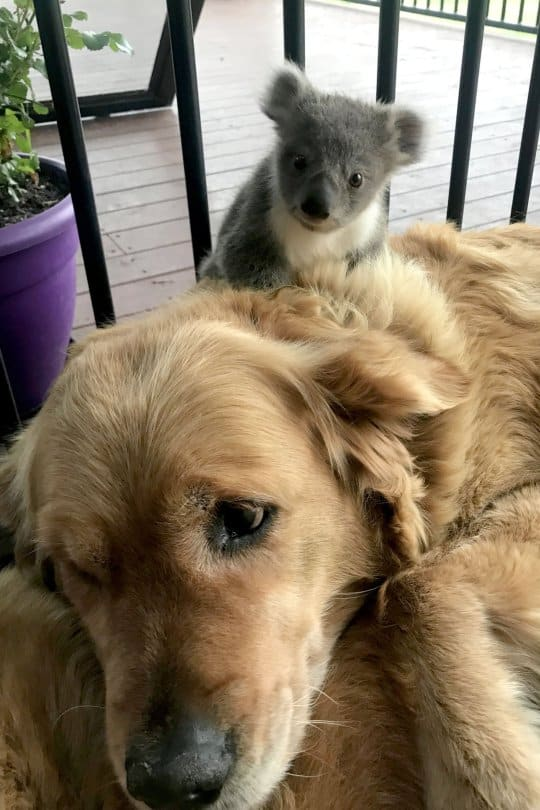 koala retriever friends