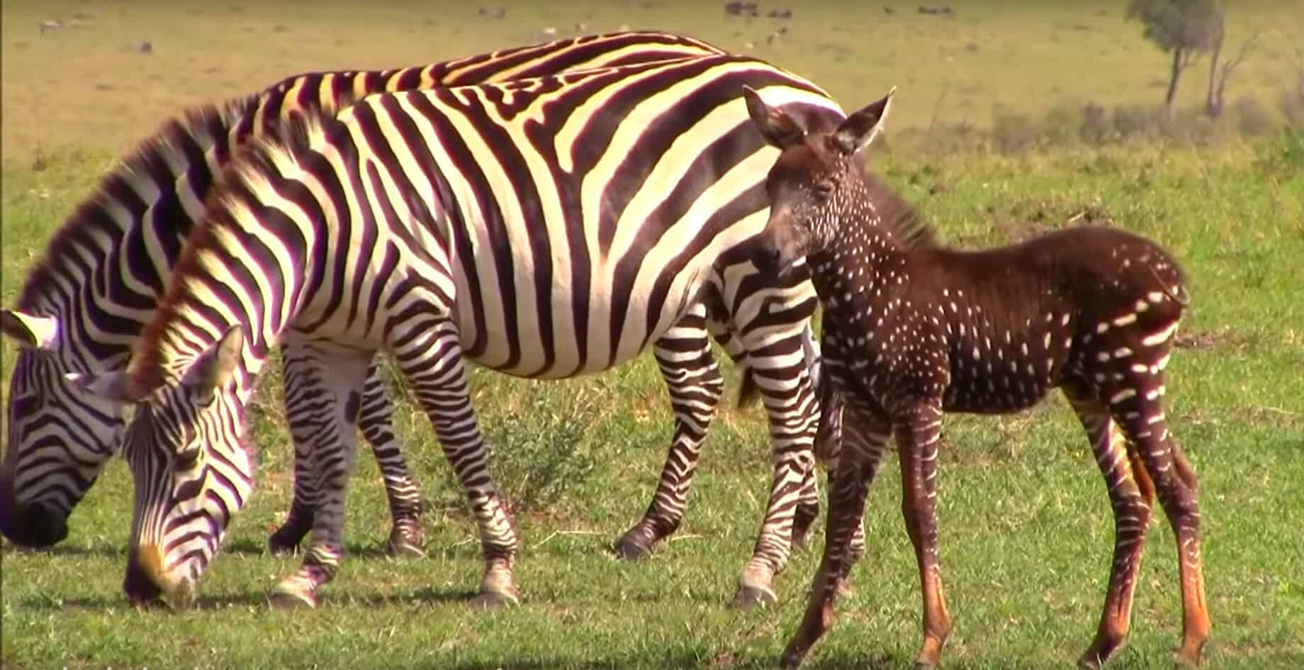 Beautiful Baby Zebra Born With Spots Instead Of Stripes