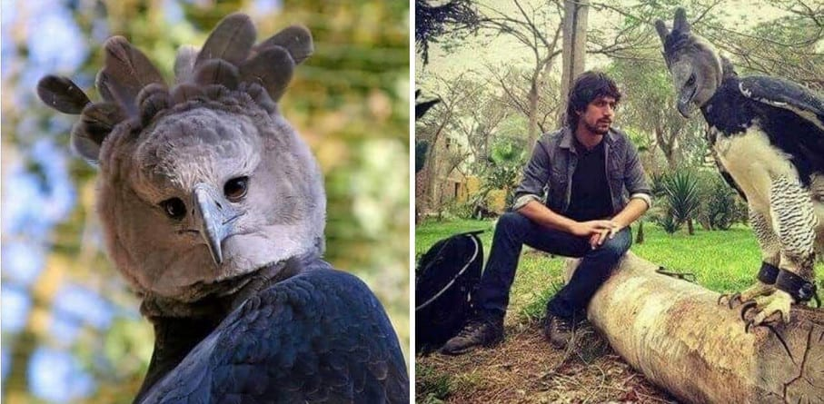 This Harpy Eagle Is So Big, People Think It's A Man In A Costume